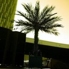 Phoenix Palm Tree 1