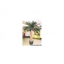 Phoenix Palm Tree 3