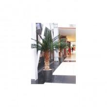 Phoenix Palm Tree 4
