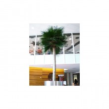 Washingtonia Palm Tree 3