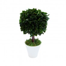 Small tree with square crown in white pot