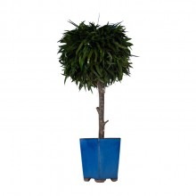 Small tree in blue pot