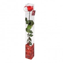 Standard rose in gift pack type