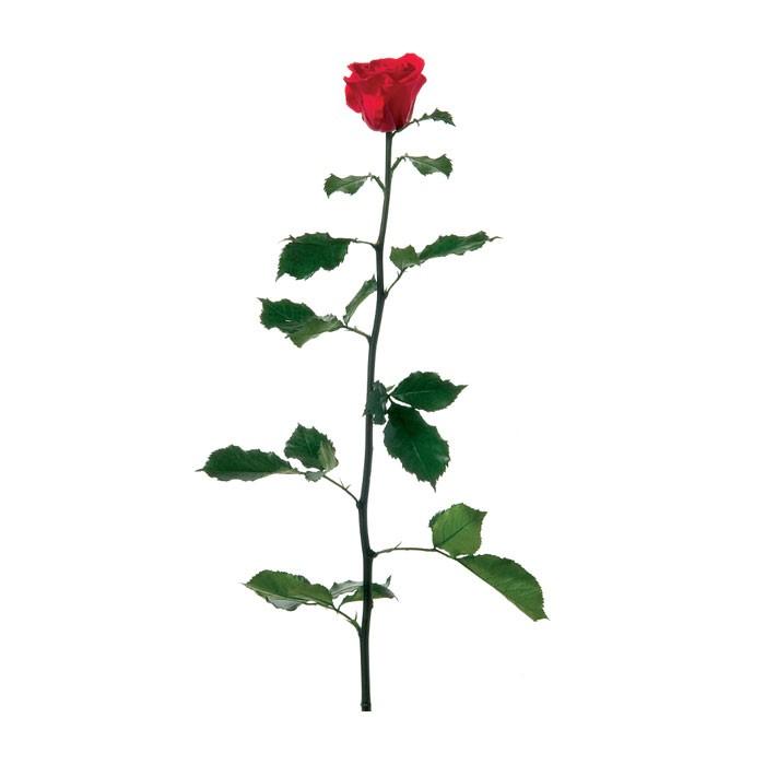 Trandafir Premium cu tulpina si frunze