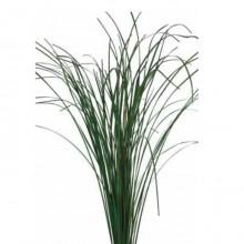 Ginerium Grass