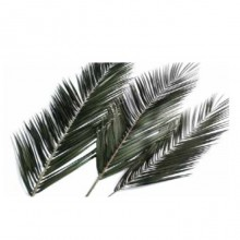 Palma Phoenix 120 - 150 cm