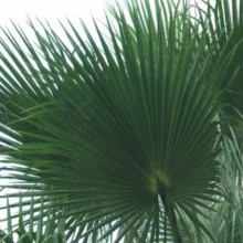 Palma Washingtonia 60 - 80 cm