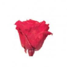 Trandafir Standard