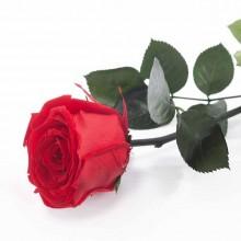 Trandafir Standard cu tulpina si frunze